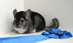 oregon chinchilla breeder, portland oregon chinchilla breeder, northwest chinchilla breeder, chinchillas for sale in oregon